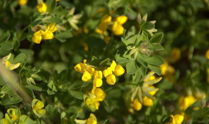 Coronilla sp (L., 1753)