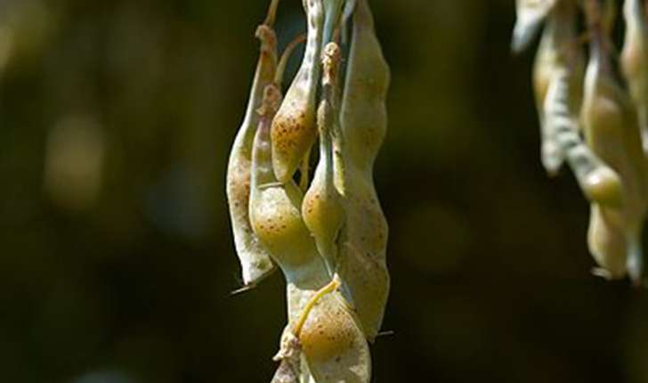 Laburnum anagyroides (Medik., 1787)
