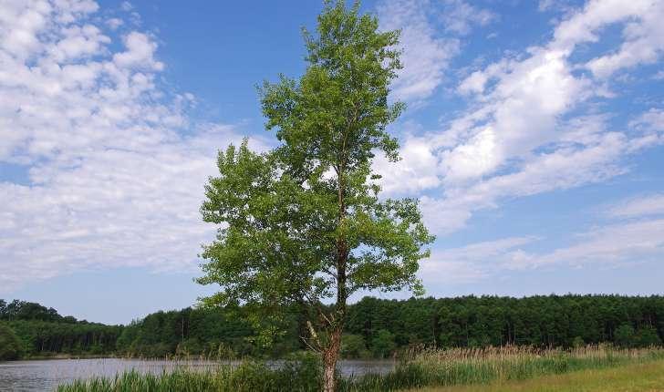 Populus nigra (L.1753)