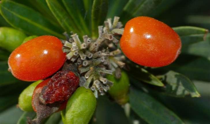 Daphne gnidium (l.,1753)