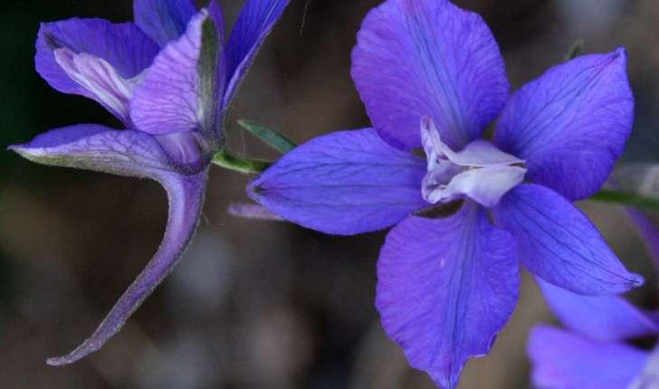 Dauphinelle fendue fleur