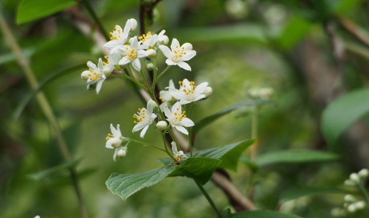 Deutzia scabra, Thunb. 1781