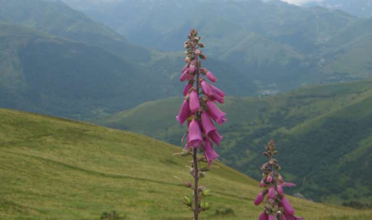 Digitalis purpurea L.