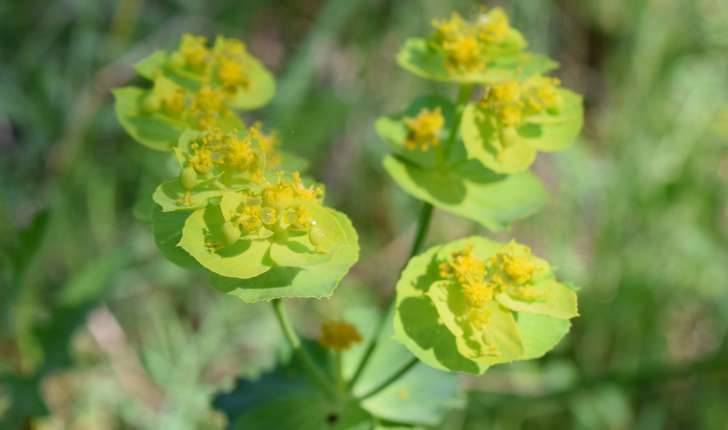 Euphorbia serrata L., 1753