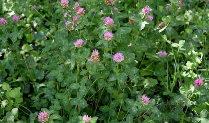 Trifolium pratense L., 1753