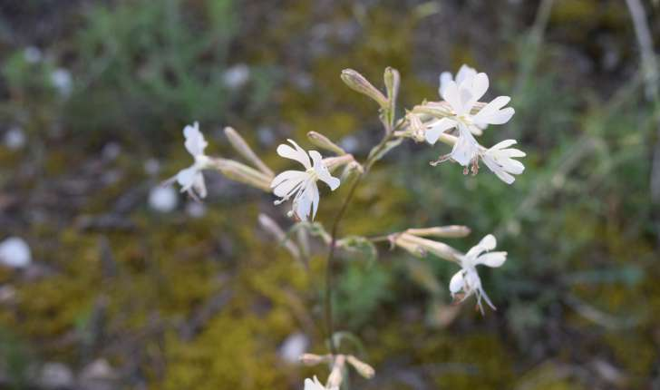 Silene nutans (L.1753)