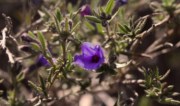 Lithodora fruticosa (L.) Griseb., 1844