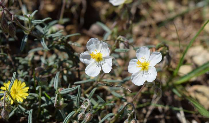 Helianthemum apenninum (L.) Mill., 1768