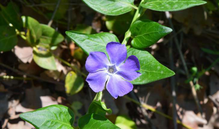 Vinca major Linné 1753