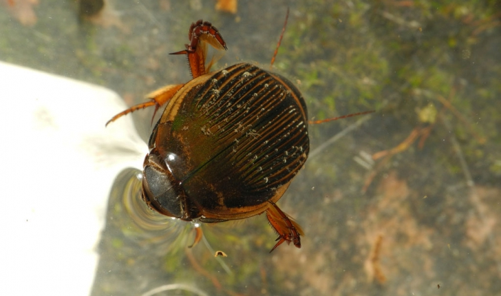 Dytiscidae Sp.