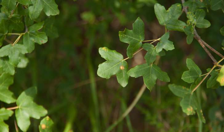 Acer monspessulanum (Linné, 1753)
