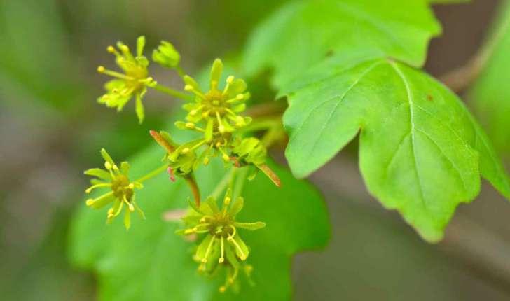 Acer campestre (L., 1753)