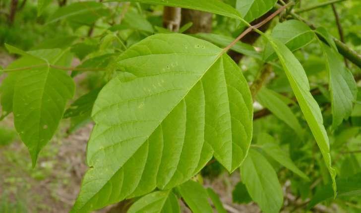 Acer negundo (L., 1753)