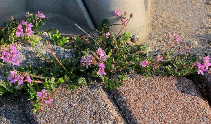 Erodium ssp