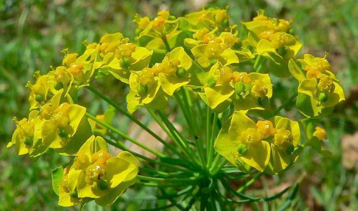 Euphorbia cyparissias (L., 1753)