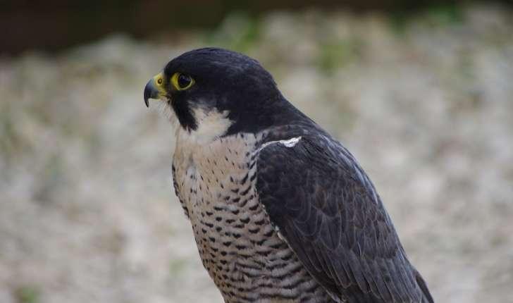 Falco peregrinus (Tunstall, 1771)