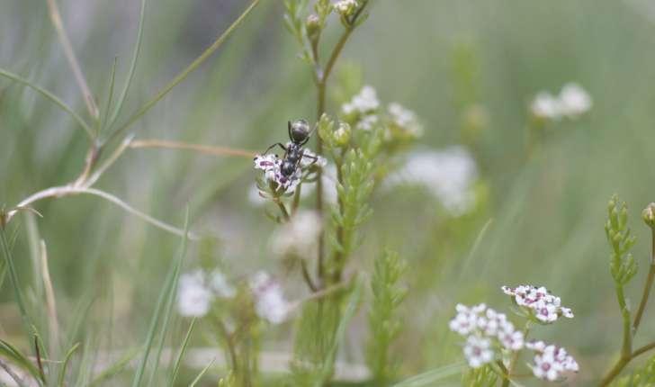 Caropsis verticillato-inundata (Thore Rauschert, 1982)