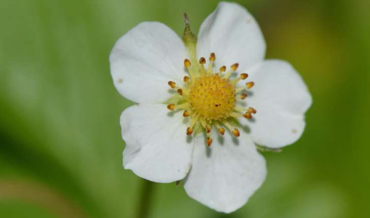 Fragaria vesca (L., 1753)