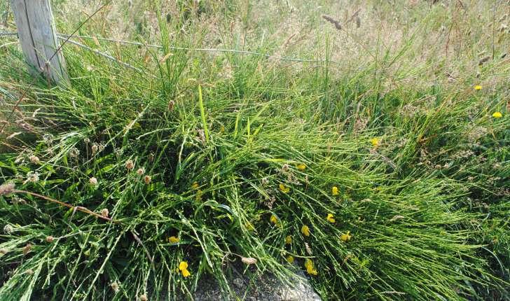 Genista tinctoria subsp littoralis (Rothm. 1963)