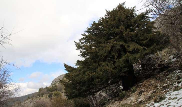 Juniperus thurifera (L., 1753)