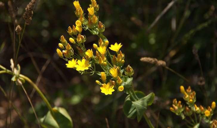 Blackstonia perfoliata (Linnée, 1762)