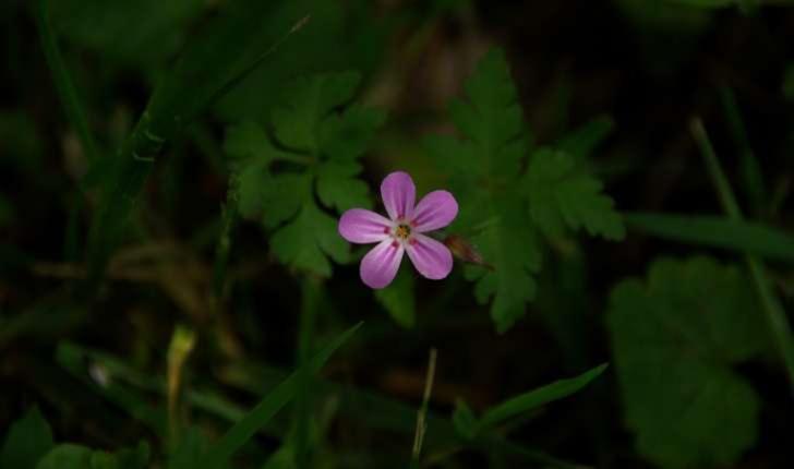 Géranium sp.