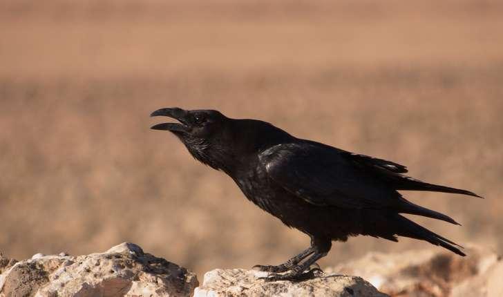 Corvus corax (Linné, 1758)