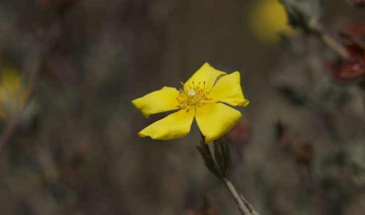 Cistus lasianthus (Lam., 1786)
