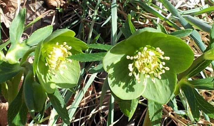 Helleborus viridis (L., 1753)
