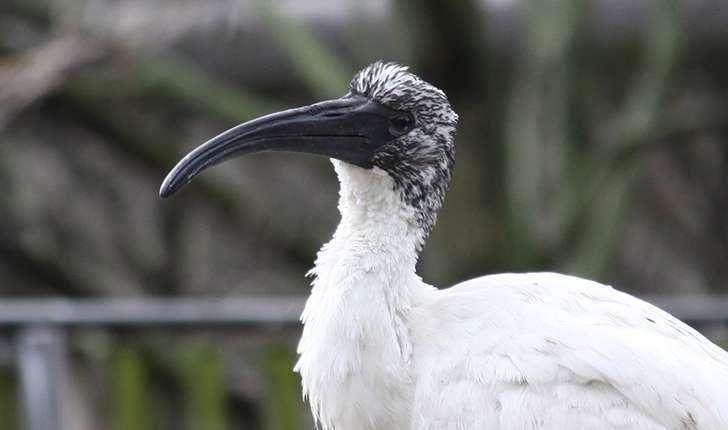 Threskiornis aethiopicus (Latham, 1790)