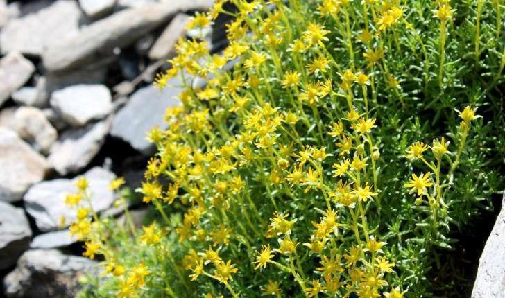 Saxifraga aizoides (L., 1753)
