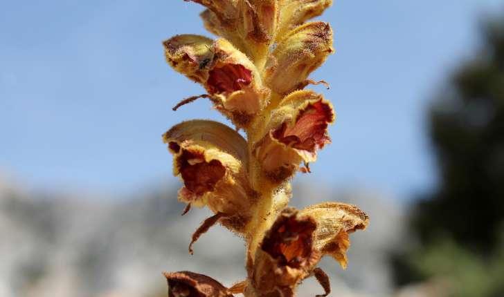 Orobanche gracilis Sm., 1798