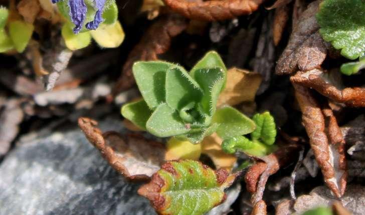 Campanula cenisia (L., 1763)