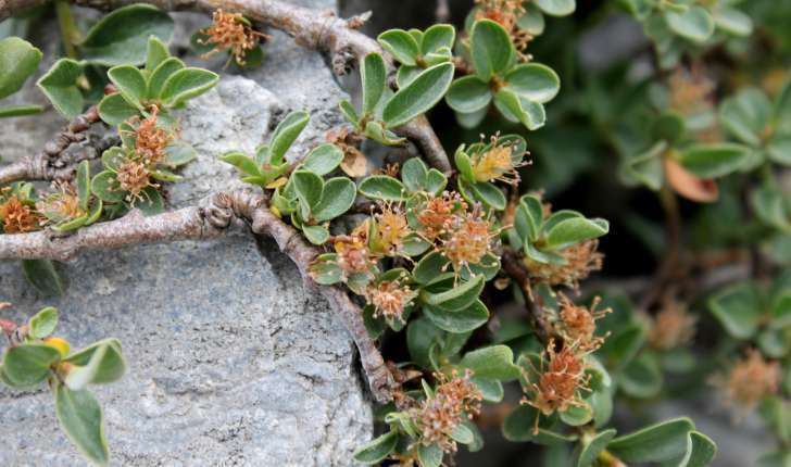 Salix retusa (L., 1759)