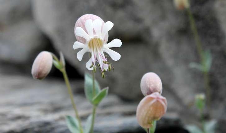 Silene vulgaris subsp. prostrata ((Gaudin) Schinz & Thell., 1923)