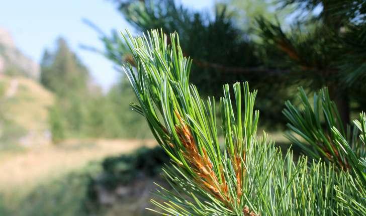 Pinus cembra (L., 1753)