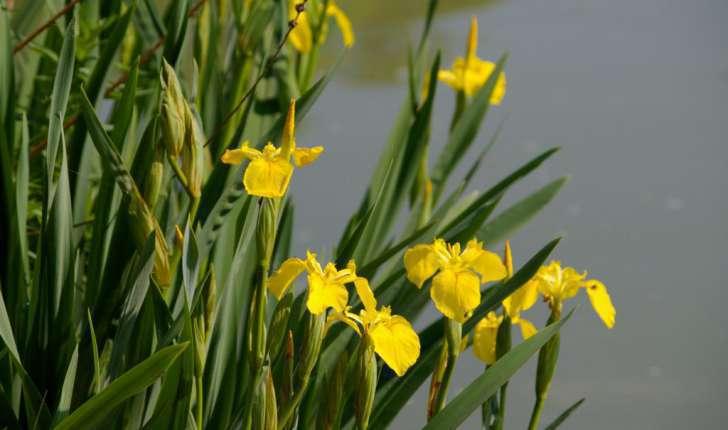 Iris pseudacorus (L., 1753)