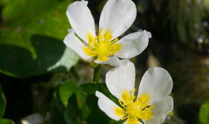 ranunculus aqualis (L., 1753)