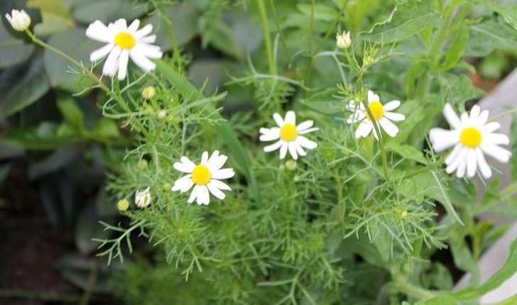 Matricaria chamomilla (L., 1753)
