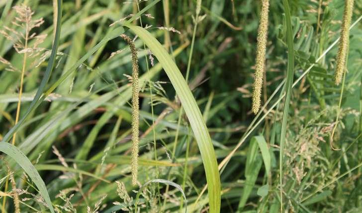 Carex pendula (Huds., 1762)