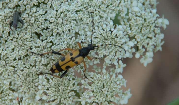 Famille des Cerambycidae