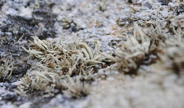Lichen sp