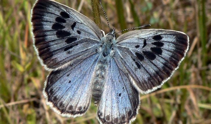 Phengaris arion (Linnaeus, 1758)