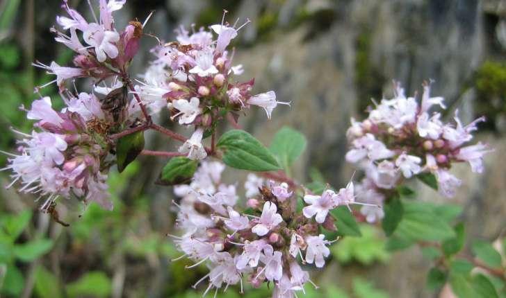 Origanum vulgare L.
