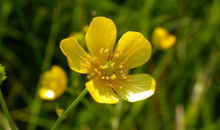 Ranunculus sp.