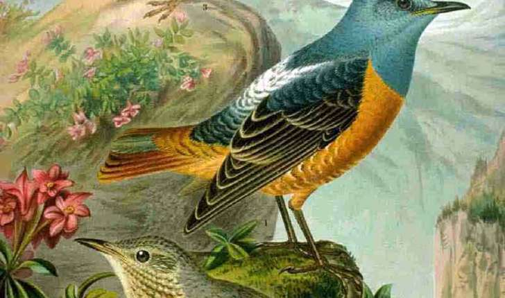 Monticola saxatilis (Linnaeus, 1758)