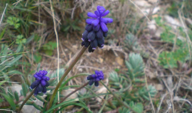 Muscari neglectum (Guss. ex Ten., 1842)