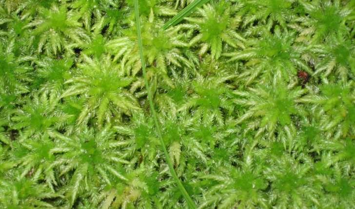 sphagnum ssp