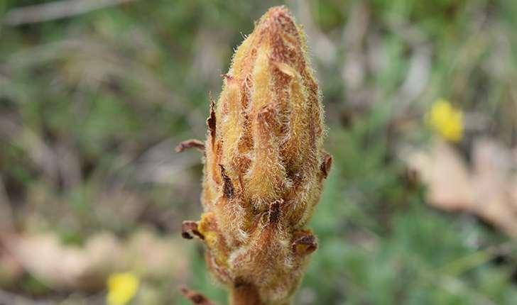 Neottia nidus-avis (L.) Rich., 1817