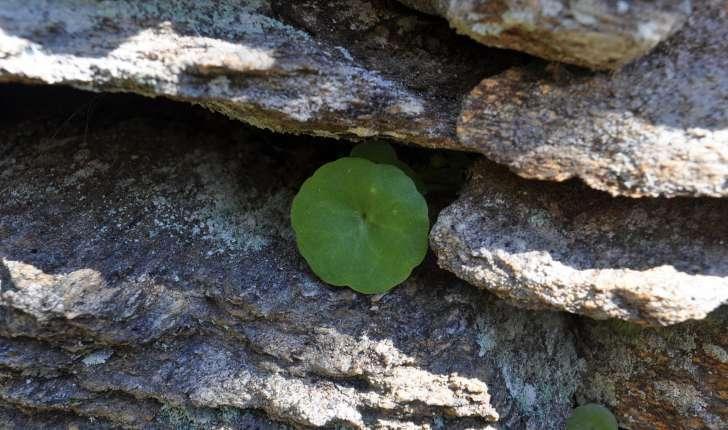 Umbilicus ruspestris (Dandy, 1948)